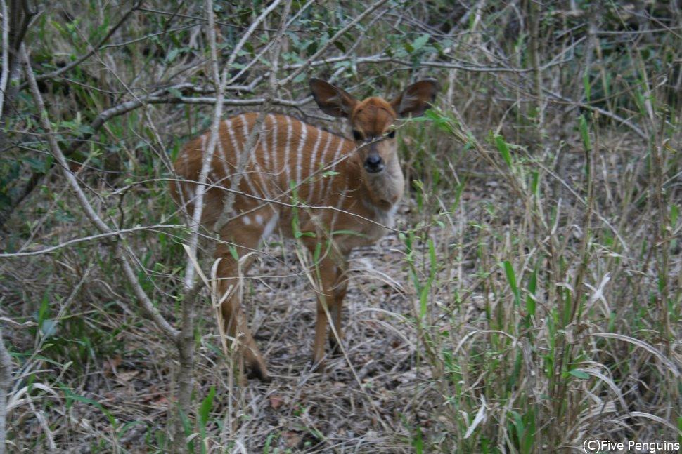 ムカヤ保護区にたくさんいた愛らしいニャラ