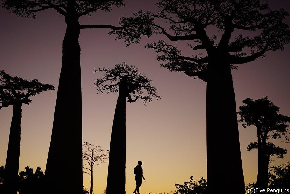幻想的な夕刻のバオバブの並木道