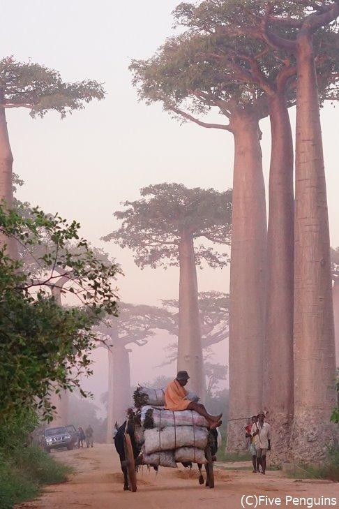早朝のバオバブの並木道