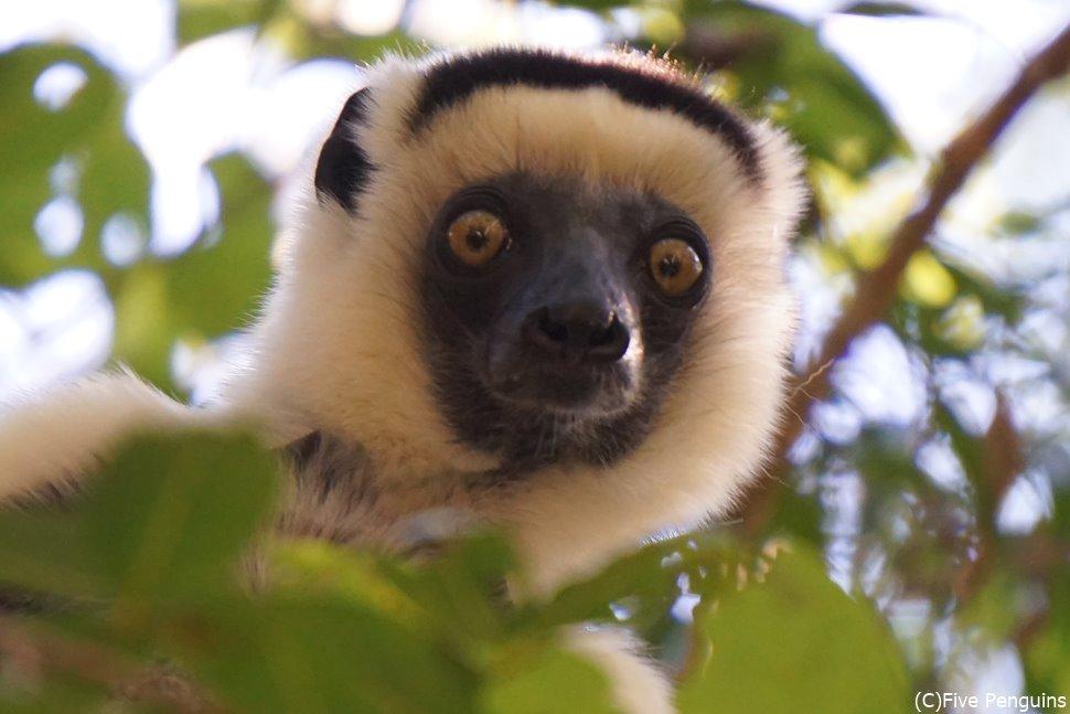 キリンディ森林保護区のウォーキングサファリで発見!ベローシファカ
