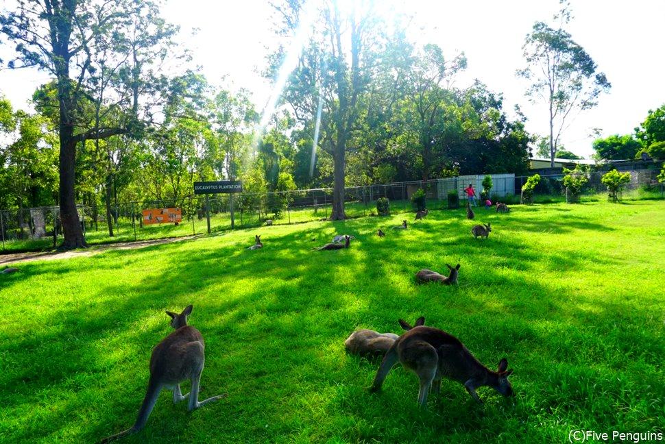 広い敷地にカンガルーがたくさん!