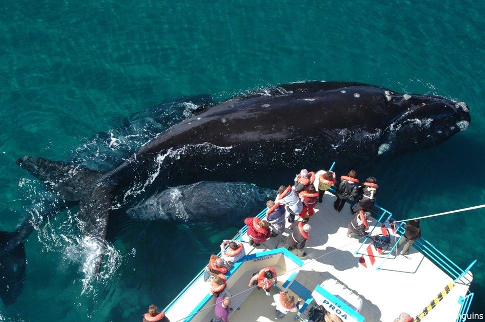 大きなミナミセミクジラ(バルデス半島)