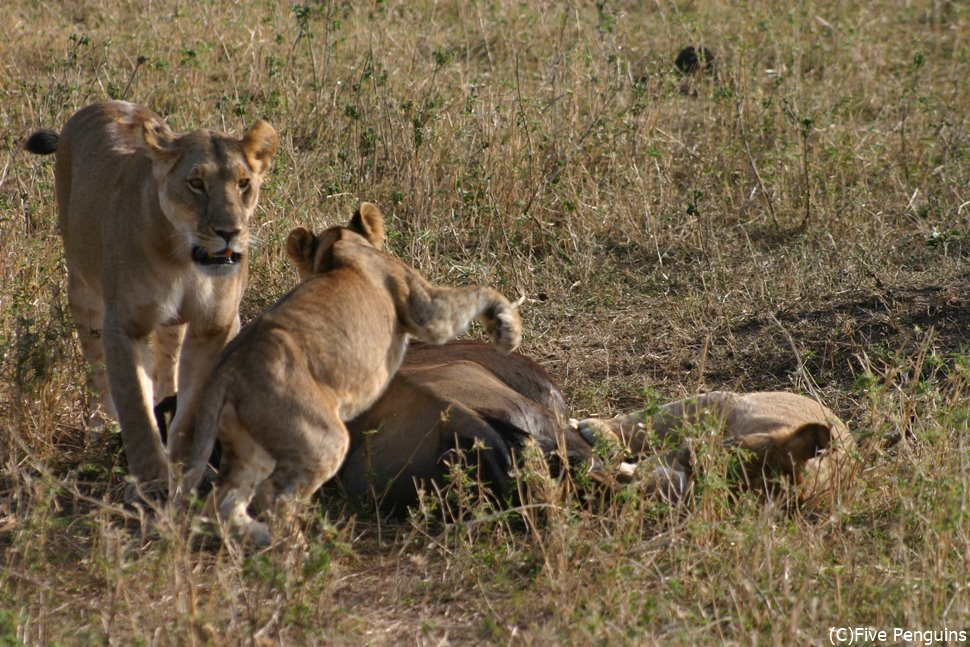 狩りのあと獲物にむしゃぶりつくマサイマラのライオンたち
