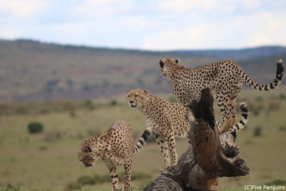 マサイマラ動物保護区のサファリでチーターに会えました