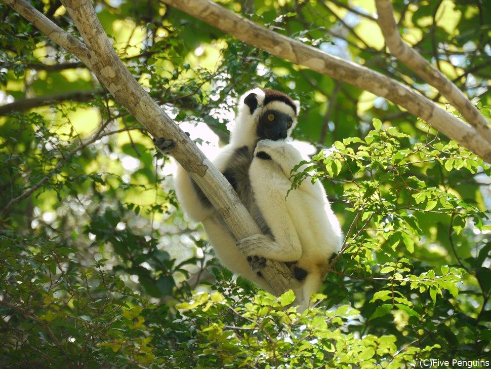 キリンディのジャングルで見つけたベローシファカ