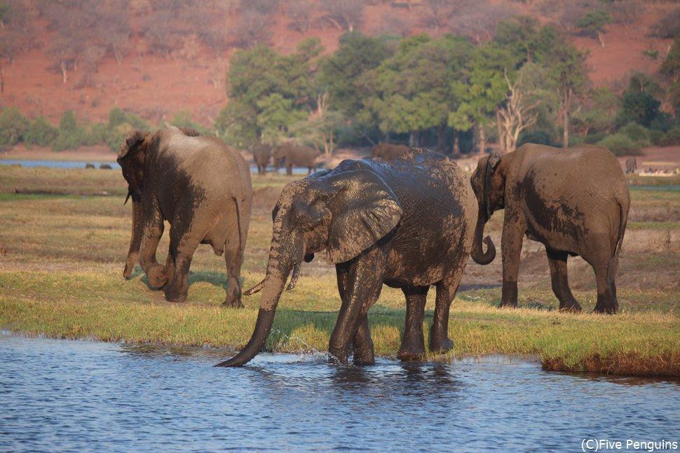 夕暮れ時にチョベ川のほとりで水浴びするアフリカ象