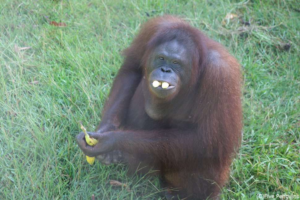 バナナをモグモグ…カメラ目線をありがとう!