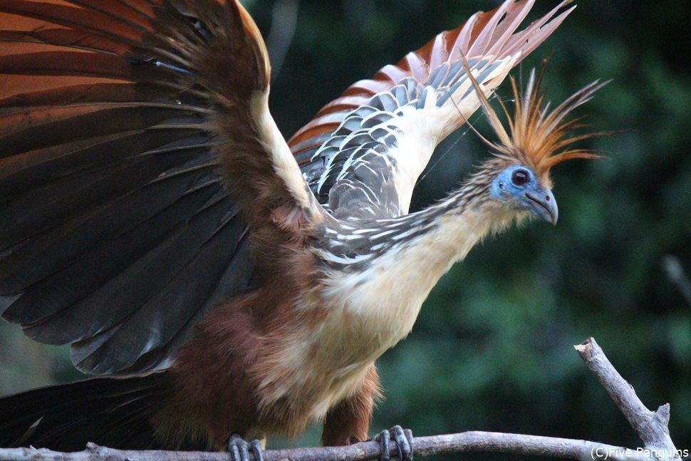 始祖鳥のような鳥 ツメバケイ(セレレ・デ・アグア)