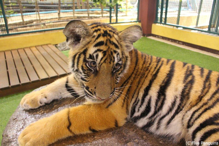カッコイイとカワイイを兼ね備えた、最強のネコ科。それが虎。