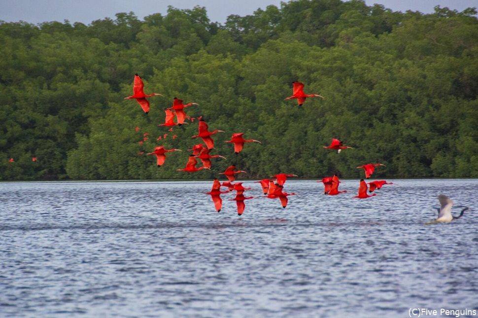 真っ赤な姿が特徴的なスカーレットアイビス
