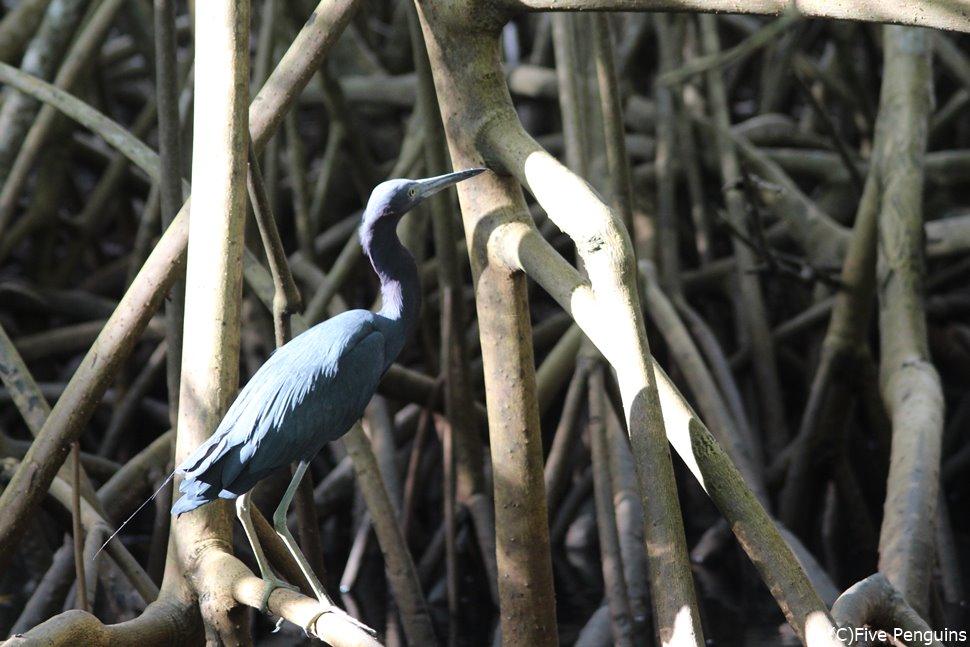 カロニ湿原 マングローブが生い茂る