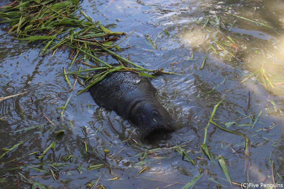 動物園の池でマナティが泳いでいる<ジョージタウン>