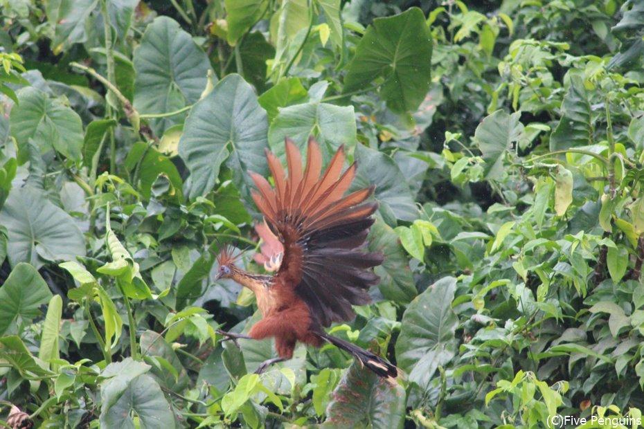 原始的な姿の珍鳥ツメバケイ<マハイカ川周辺>