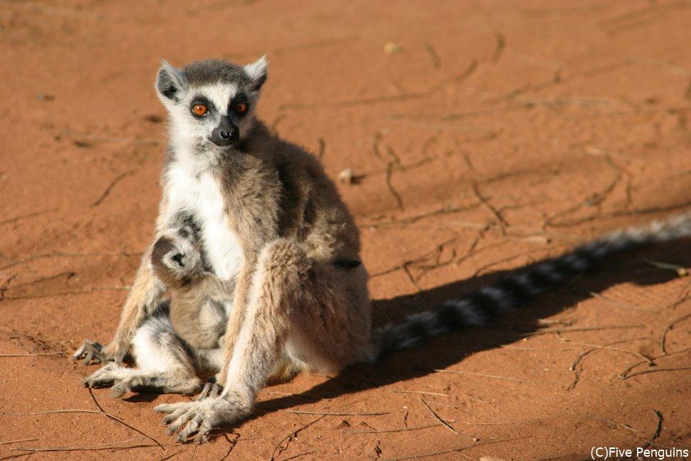 マダガスカルで見かけたワオキツネザルの親子