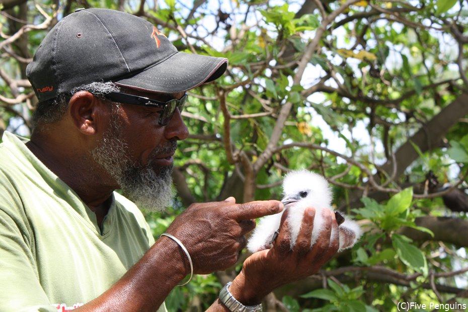 ふわっふわのセグロアジサシの幼鳥