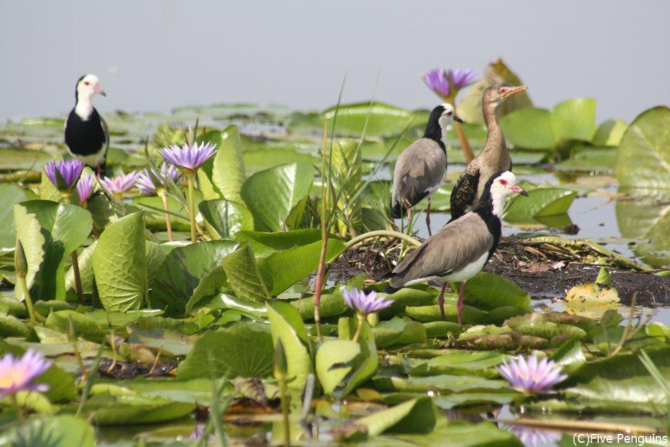 """マバンバ湿地は鳥の楽園。着いたら""""とり""""あえず撮影…なんちゃって<マバンバ湿地>"""