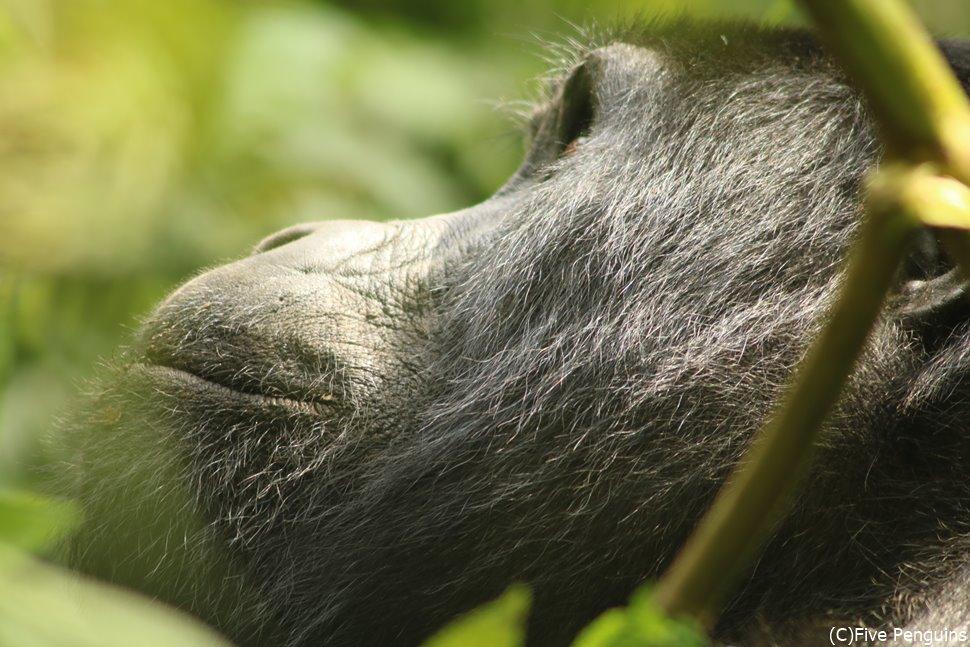 マウンテンゴリラの顔の皺までみれちゃうかも <ブウィンディ国立公園>