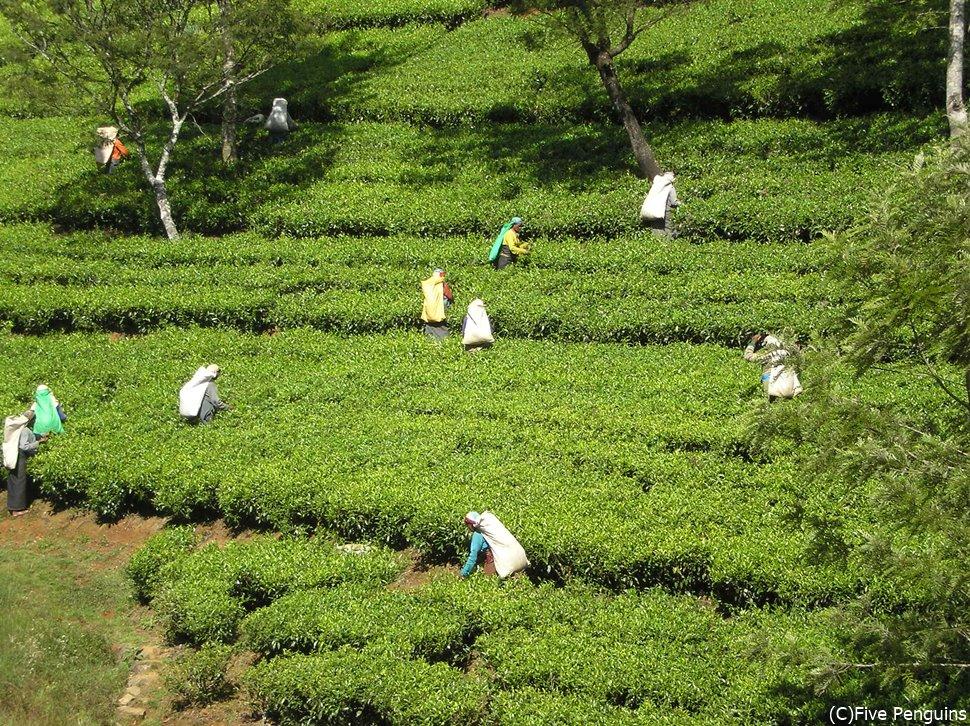 紅茶畑に行く際は1枚羽織るものを持参しましょう!