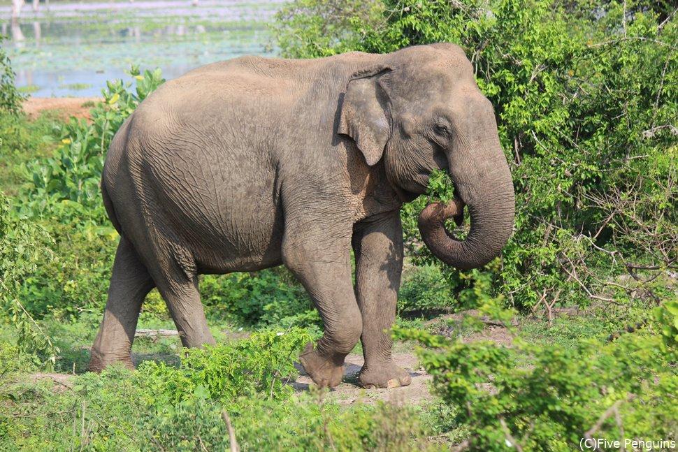 早朝のジープサファリで象を発見!!
