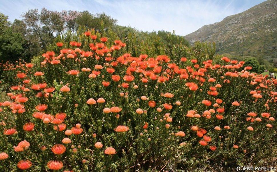 南アフリカ共和国の国花 プロテア